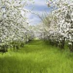 4745939-apple-trees-during-blooming-spring-orchard-shallow-dof